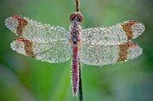dragonfly_in_morning_dew